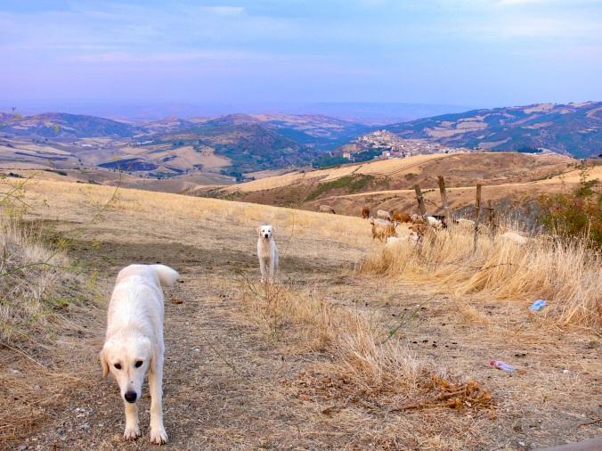 Friendly cattle-herding dogs
