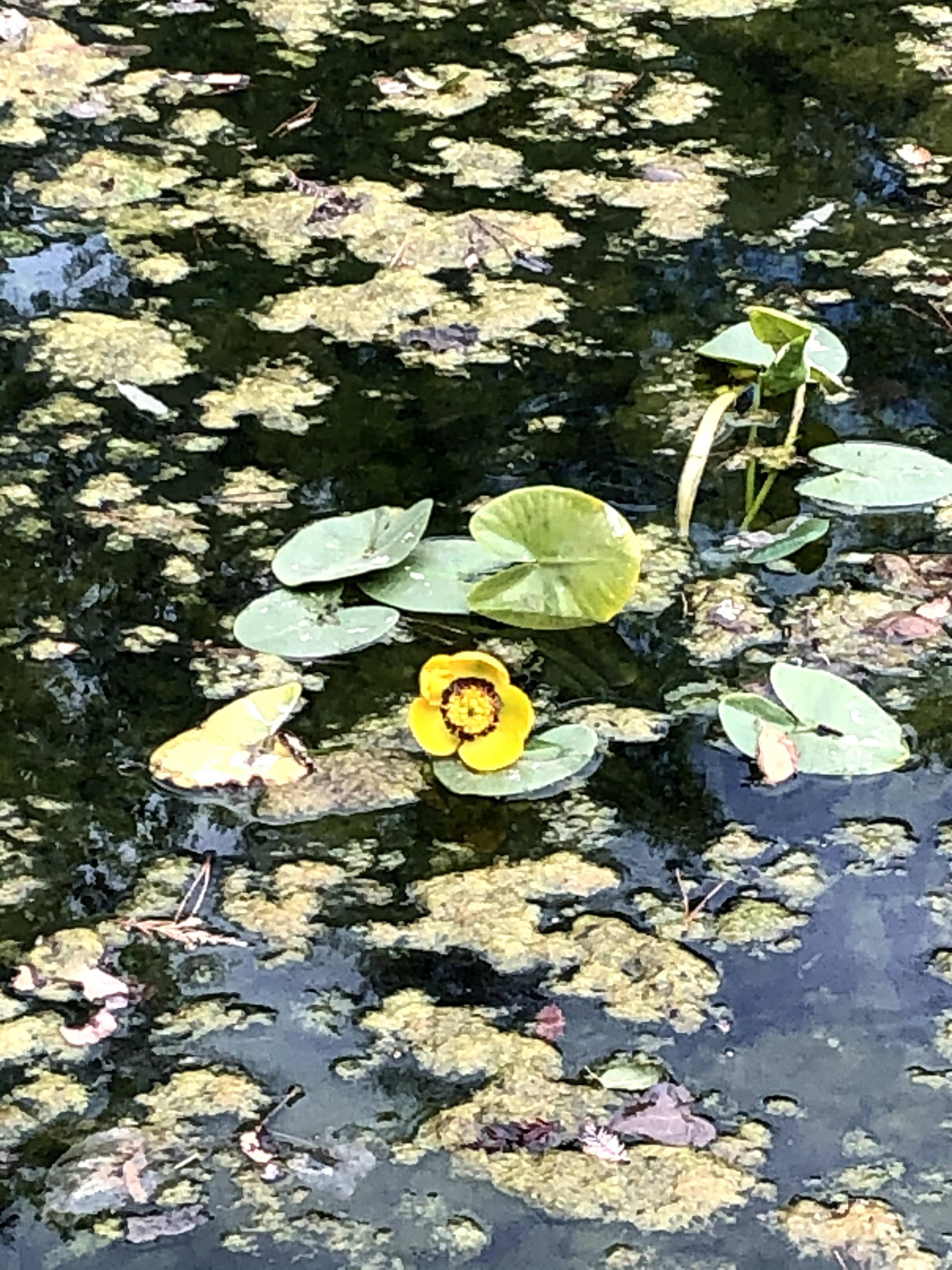 lily pond with flower